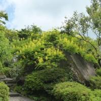 強羅公園ローズガーデンは5分咲き、最高の時☆ 箱根バラ  原種 コンパニオンプランツ  エステル・ド・メイアン