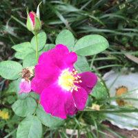 ラプソディ インブルー また咲いた