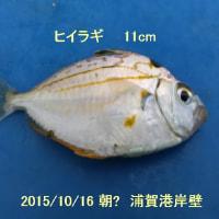 笑転爺の釣行記 10月16日☁ 浦賀・平作川