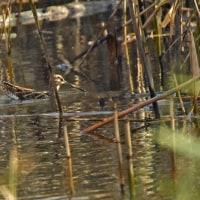 ヒドリガモ♂♀の仲良し飛翔シーンほか数種の鳥たち・・・