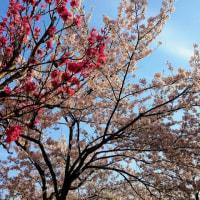 平成29年の桜