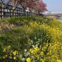 2017.3 坂川の花桃