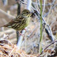 上大島で探鳥できた冬鳥
