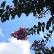 サルスベリのピンク