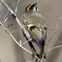 今日も小さい鳥の紹介