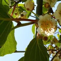 キウイの花、満開