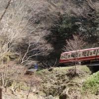 極楽橋のタチツボスミレ⑥ 不動坂でクマ出没注意