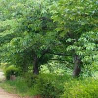 葉桜の道を歩いて