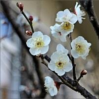 梅が咲いても春遠し