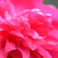 薔薇の、、雫。。。