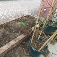 花壇に新しいイングリッシュローズの植え付け