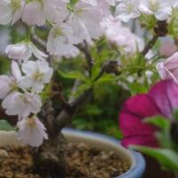ウチの桜は今、満開。