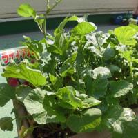 保育園の野菜たち