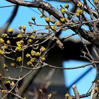 山茱萸(さんしゅゆ)という花
