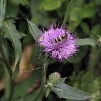 ノハラアザミの花にヒメハラナガツチバチ