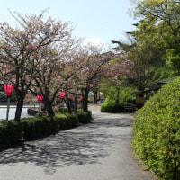 葉桜 ・・・