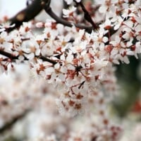 プラム(スモモ 李) と アンズ(杏) の花