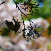 自然教育園日記 その88  散る桜―3