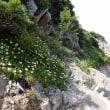 唐松岳の周辺の植物:ハクサンイチゲの群落