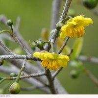 ミッキーマウスの木 〈オクナ・セルラータ〉