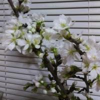 桜の様子(我が家)