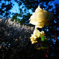 『梅たより』 バラ園