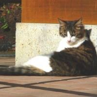 日なたぼっこり猫