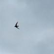 高速で飛ぶ鳥