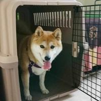 4月20日(木)…看板犬クールの定期検診