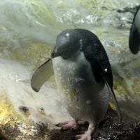 修行していたペンギン