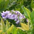 フジの花が咲きました