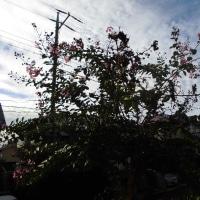 「百日紅」は長く咲いていますがこれでお終いです