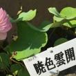 観蓮会2017 活動報告5 見本園の蓮たち その2