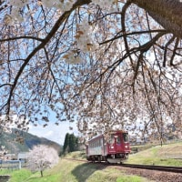沿線桜風景!