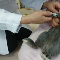 チョコ、2回目の爪切り&検診