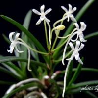 富貴蘭 天晃殿の花