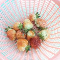 苺収穫 今日も沢山(・∀・)