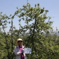 安曇野・2017年度りんごの木オーナー権で摘果作業に行って来ました!!
