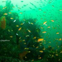 キンギョハナダイの海