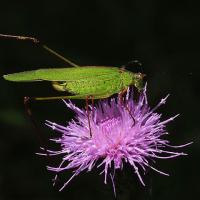 アシグロツユムシ、クチナガガガンボ、キバラヘリカメムシ