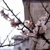 梅と水仙の花がやっと咲きそろいました。