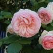 実家のバラたち