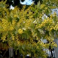 房アカシアという花