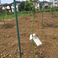 【10年後、20年後の豊かな畑へ〜「レモン」と「ライム」を植えました】