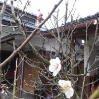 白梅が咲き始めました