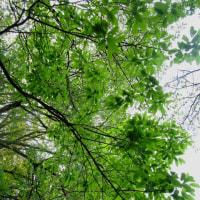 湯の町暮らしに 新緑の盛りになりつつ豊かな雑木林を眺めて歩く