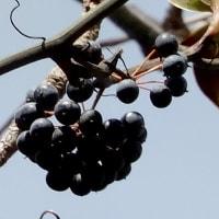 黒々に熟した実がたくさん  シマサルトリイバラ