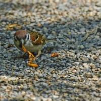初見、スズメ・シオカラトンボがビロードハマキを捕食するシーンを・・・