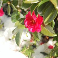 雪の白。花の紅。