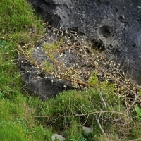 沖永良部島の植物:白く熟するクサスギカズラの実